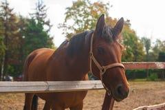 Portret van jonge bruine paarden op het weiland Stock Afbeelding