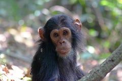 Portret van jonge chimpansee Stock Foto's