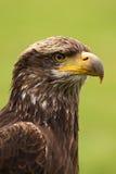Portret van jonge kale adelaar stock afbeeldingen