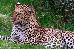 Portret van jonge luipaard kenia royalty-vrije stock afbeelding