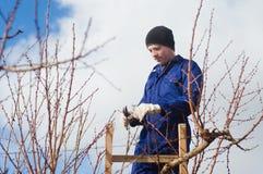 Jonge mens het snoeien abrikozenbrunches die ladder gebruiken Stock Foto
