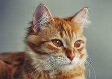 Portret van jonge rode kattenclose-up stock foto