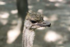 Portret van jonge struisvogel Royalty-vrije Stock Afbeelding