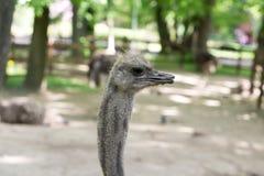 Portret van jonge struisvogel Stock Afbeeldingen