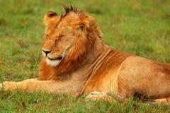 Portret van jonge wilde Afrikaanse leeuw Stock Foto's