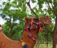 Portret van kameel Stock Foto's
