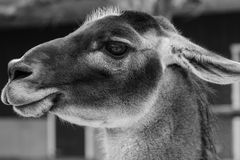 Portret van Kameel in Zwart-wit Stock Afbeeldingen