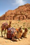 Portret van kamelen met de Koninklijke Graven op de achtergrond stock afbeelding