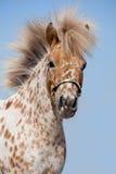 Portret van kastanje in vlekken miniatuurpaard Stock Foto's