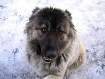 Portret van Kaukasische herdershond stock afbeeldingen