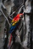 Portret van kleurrijke Scharlaken Arapapegaai tegen wildernisachtergrond Royalty-vrije Stock Afbeeldingen
