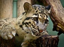 Portret van knappe volwassen luipaard bij de dierentuin Stock Fotografie