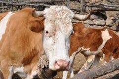 Portret van koe Stock Foto