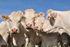 Portret van koeien Royalty-vrije Stock Afbeeldingen