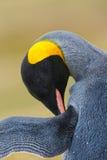 Portret van Koningspinguïn, Aptenodytes-patagonicus, detail het schoonmaken van veren, met zwart en geel hoofd, Falkland Islands Stock Afbeelding