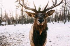 Portret van Koninklijke rode hertenbok met geweitakken Stock Afbeelding