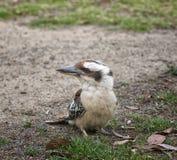 Portret van kookaburra Royalty-vrije Stock Afbeeldingen