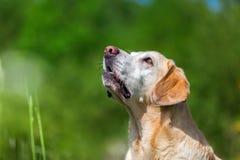 Portret van labrador retriever dat omhoog eruit ziet Stock Foto