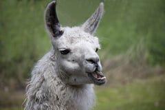 Portret van Lama stock afbeelding