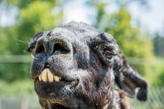 Portret van lama met grappige tanden Royalty-vrije Stock Afbeeldingen