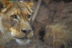 Portret van leeuw Royalty-vrije Stock Afbeelding