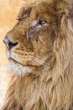 Portret van leeuw Stock Afbeeldingen