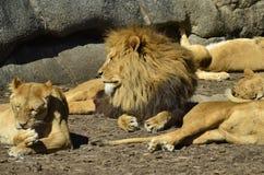 Portret van leeuw het kijken Stock Fotografie