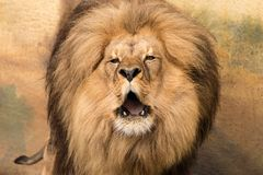Portret van leeuw met naakte hoektanden en ruwharige manen stock foto's