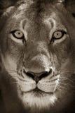 Portret van leeuwin Royalty-vrije Stock Afbeelding
