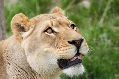 Portret van leeuwin Royalty-vrije Stock Fotografie