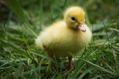 Portret van leuk weinig gele dichte omhooggaand van het baby pluizige muscovy eendje Stock Foto's