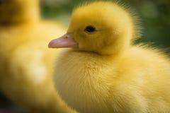 Portret van leuk weinig gele dichte omhooggaand van het baby pluizige muscovy eendje Stock Fotografie