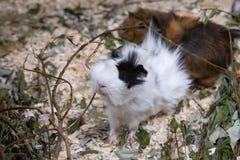 Portret van Leuk Zwart-wit Proefkonijn Sluit omhoog foto stock foto