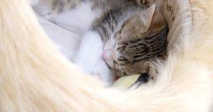 Portret van Leuke Baby Cat Sleeping stock video