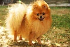 Portret van leuke pomeranian hond Hond op een gang Stock Afbeeldingen