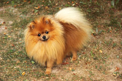 Portret van leuke pomeranian hond Hond op een gang Stock Fotografie