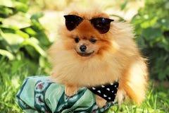 Portret van leuke pomeranian hond Hond op een gang Stock Foto