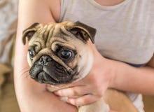 Portret van leuke pug die in wapens worden gehouden royalty-vrije stock fotografie