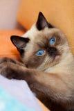 Portret van leuke siamese kat royalty-vrije stock afbeeldingen