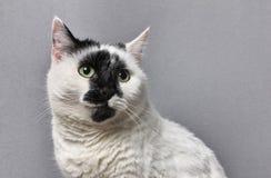 Portret van leuke zwart-witte kat stock afbeelding