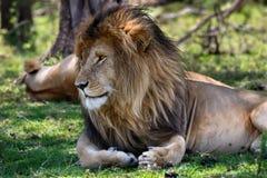 Portret van Lion Scarface in Masai Mara Stock Foto's