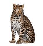 Portret van luipaard, Panthera pardus, het zitten royalty-vrije stock afbeeldingen