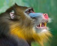 Portret van Mandril, Mandrillus-sfinx, primaat van de Oude familie van de Wereldaap stock foto