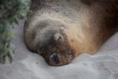 Portret van mannelijke Australische zeeleeuw, cinerea Neophoca die, op het strand bij Verbindingsbaai slapen, Kangoeroeeiland, Zu stock foto