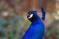 Portret van mannelijke pauw Stock Foto