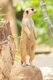 Portret van meercat Stock Afbeelding