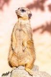 Portret van meerkt Stock Foto