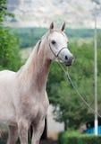 Portret van mooi Arabisch merrieveulen stock foto's