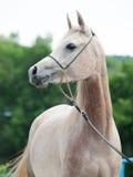 Portret van mooi Arabisch merrieveulen royalty-vrije stock foto