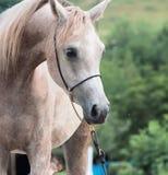 Portret van mooi Arabisch merrieveulen stock foto